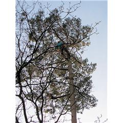 images_Gallery2012_Tree Surgery_treesurgery3_240_240_True