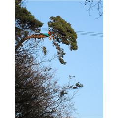 images_Gallery2012_Tree Surgery_treesurgery7_240_240_True