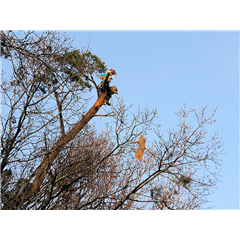 images_Gallery2012_Tree Surgery_treesurgery9_240_240_True